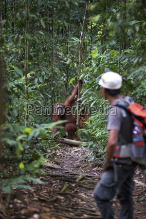 indonesia orango