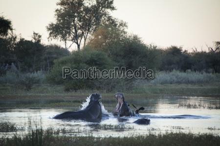 two hippopotamuses hippopotamus amphibius with open