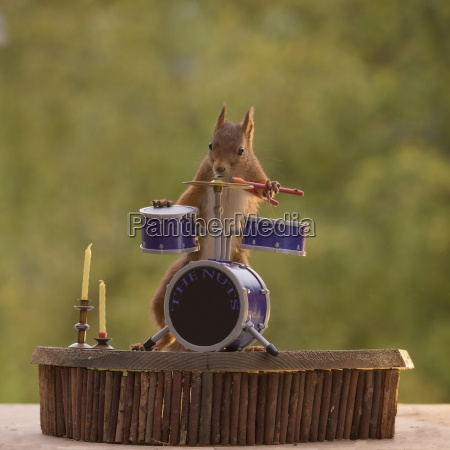 red squirrel playing miniature drum kit