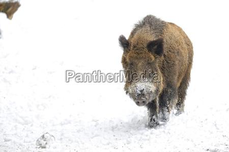 wild boar in the snow