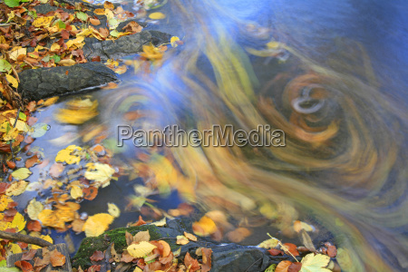 autumnal leaves swim in a stream
