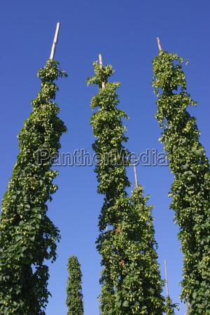 cibo bevande bere agricoltura flora birra