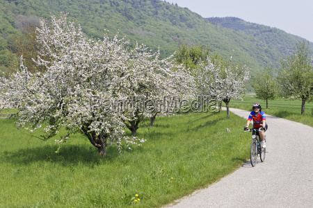 flowering fruit trees in spring and