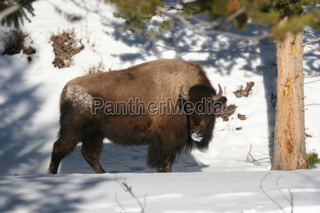 bison in inverno