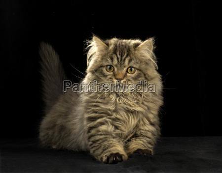 gatto persiano di razza