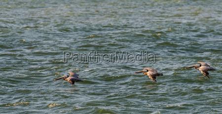 pelicans flying over the pacific ocean