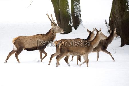 animale selvaggio animali natura cervo