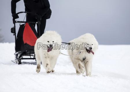 inverno animale cane avventura slitta razza
