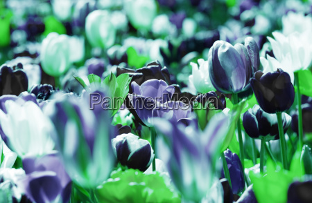 tulips sepia violet green concept