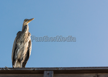 blue heron perched with copy space