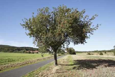 apple tree hofgut huflar near fladungen