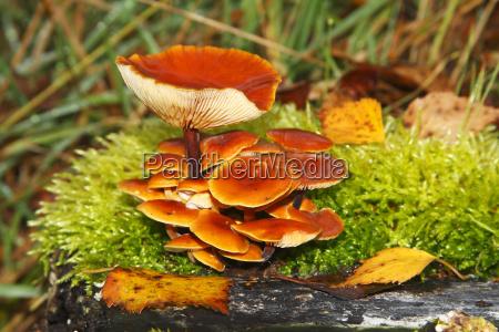 funghi arancioni su un ceppo muscoso