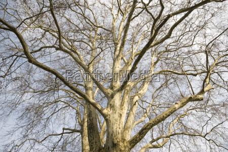 maple leafed plane tree platanus x