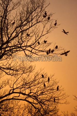 cormorants phalacrocorax carbo in the tree