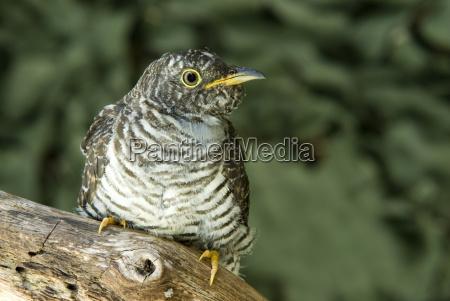 cuckoo cuculus canorus schwaz tyrol austria