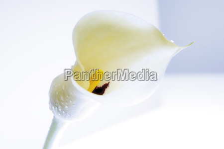 calla zantedeschia with drops of water