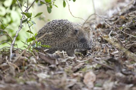hedgehog garden leaves nature