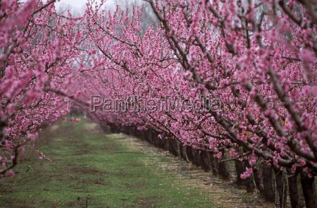 flowering peach plantation peach tree prunus