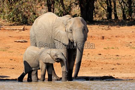 elefanti africani in una pozza dacqua