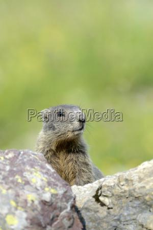 young alpine marmot marmota marmota peeks