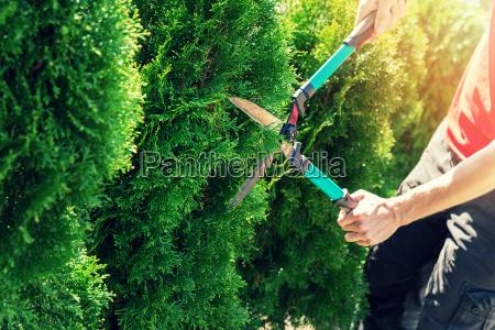 taglio thuja albero con tagliasiepi da