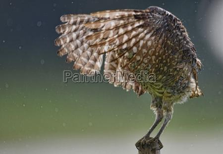 florida burrowing owl taking bath in