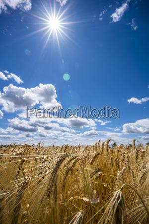 austria hoersching grain field barley field