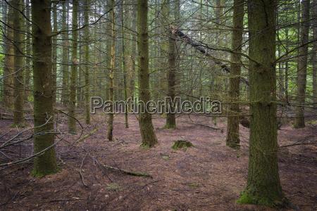 foresta spruce spreconce spettrale odenwald assia