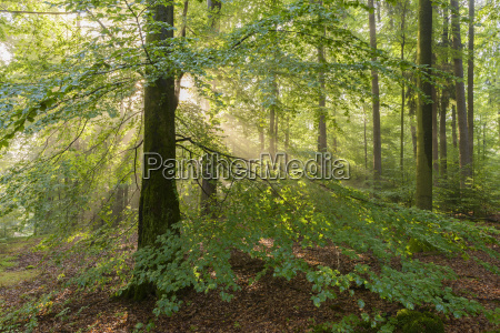 albero fascio albero caduco estate caucasico