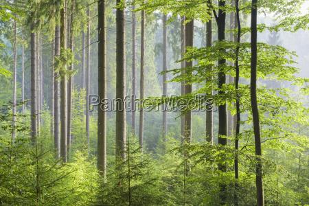albero albero caduco estate caucasico europeo