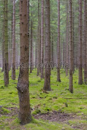 albero caucasico europeo europa germania assia