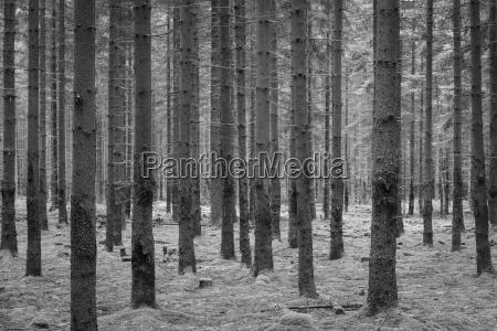 foresta di abete rosso odenwald hesse