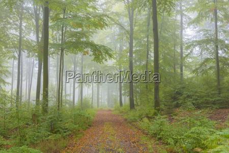 percorso nella foresta di beech in