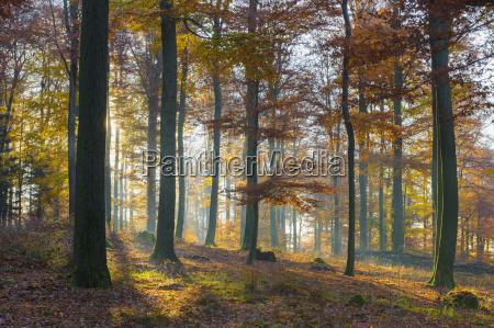 foresta europea di faggio fagus sylvatica