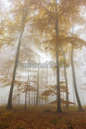 raggi di sole nella foresta europea