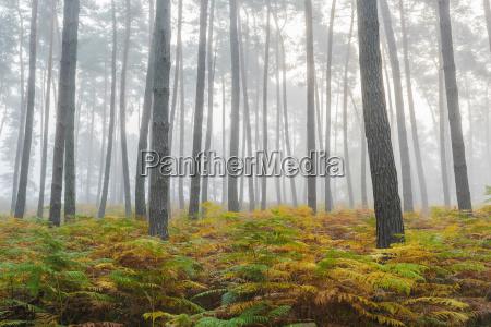 foglia albero selvaggio pino caucasico europeo