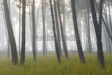 albero selvaggio pino caucasico europeo europa