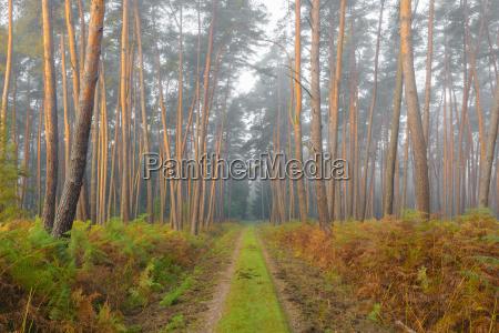sentiero attraverso la pineta in nebbioso