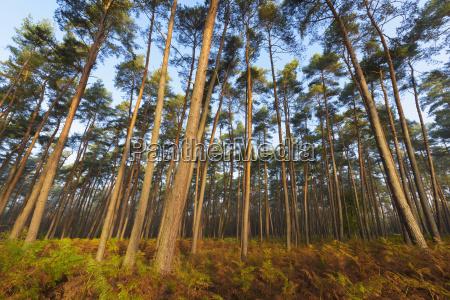 movimento in movimento albero selvaggio pino