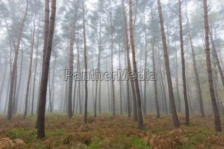 albero selvaggio pino alba caucasico europeo