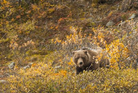 andare ambiente mammifero orso parco nazionale
