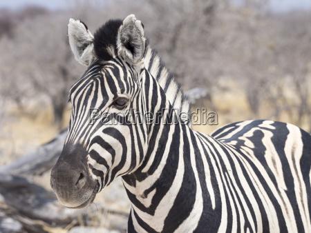 animale mammifero parco nazionale africa namibia