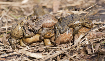 toad bufo bufo several males try