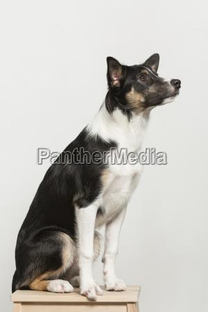 sgabello animale domestico quadrupede cane studio