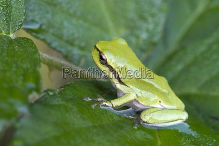 european tree frog hyla arborea cub