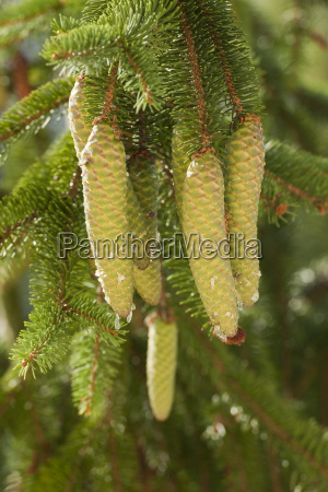 norway spruce or fir picea abies