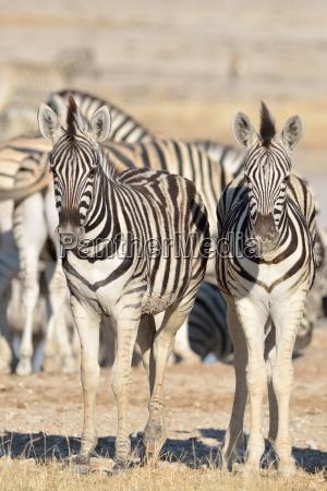 young burchells zebra equus burchelli standing