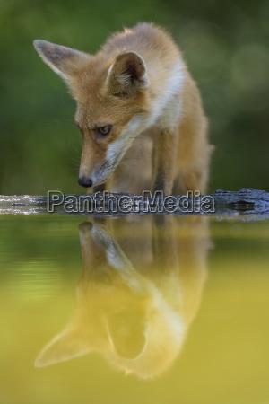 red fox vulpes vulpes drinking at