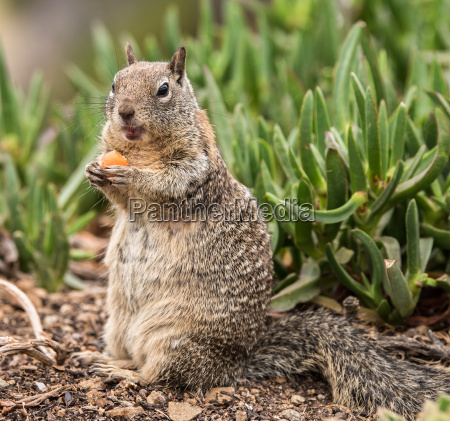 squirrel sitting up eating a carrot
