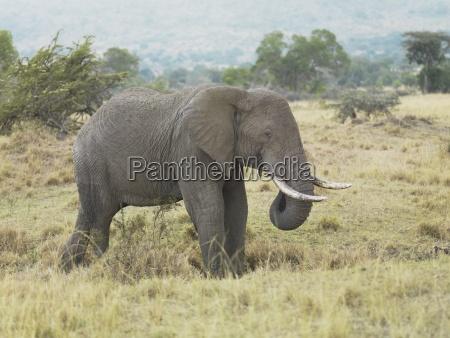 elefante con le zanne
